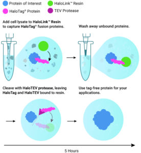 Flow diagram for purifying HaloTag fusion proteins