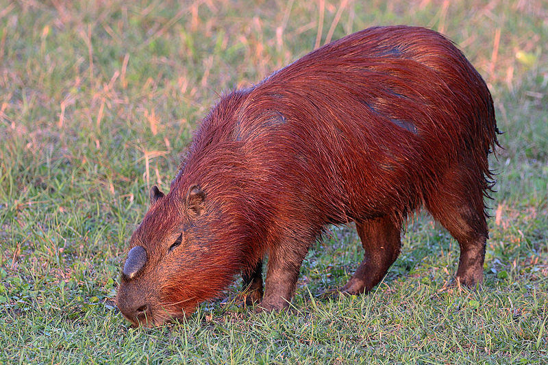 Photos of an adult male capybara.